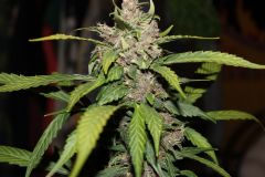 Fastberry (Fast Buds)