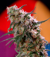 Super Haze от Dutch Passion
