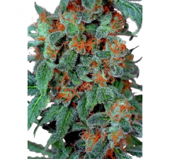 Orange Bud от Dutch Passion