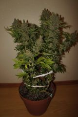 White Widow от Dutch Passion