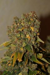 White Russian от Serious Seeds