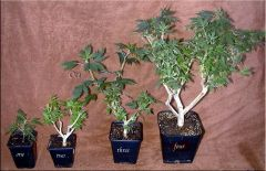 All About Bonsai Moms 005