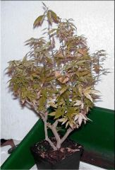 All About Bonsai Moms 006