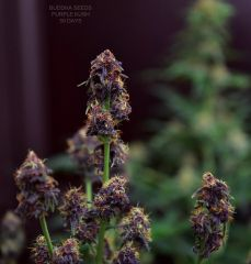 Purple kush- Buddha Seeds