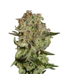 Super Bud от Green House Seeds